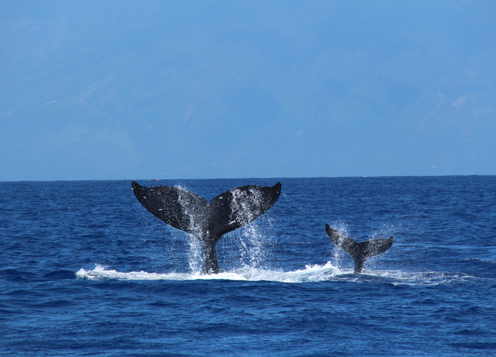 humpbackwhales_image07_tailsup