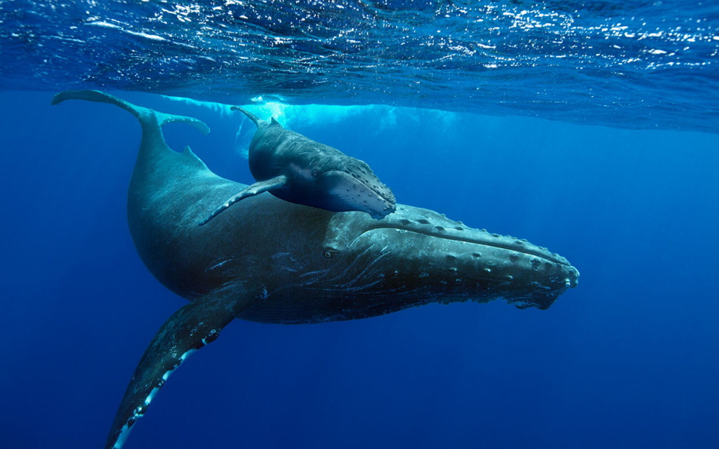 humpback-whales-mom-and-calf